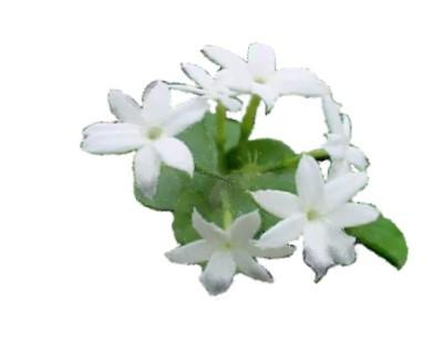 White Jasmine Graphic